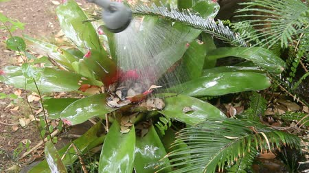 hosing : Water sprayer comes in and waters a bromeliad plant. Stock Footage