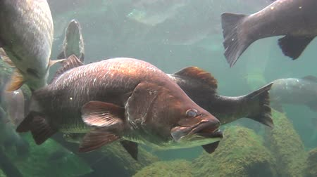 calcarifer : School of large barramundi fish swimming and gliding underwater. Stock Footage