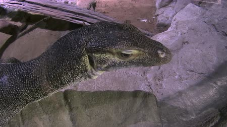 ящерица : Water monitor lizard reptile sitting by a running stream.