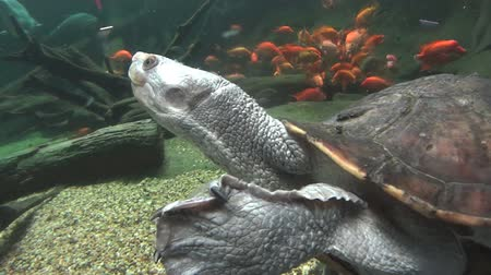 long necked : Fresh water long necked turtle swimming with other fish.