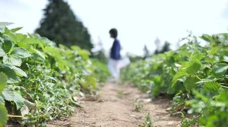 feltörés : Asian chinese child picking strawberry on a farm