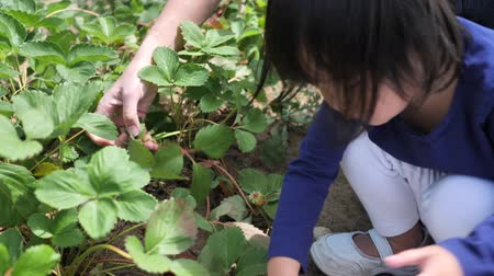 jagoda : Asian chinese child and mother picking strawberry on a farm