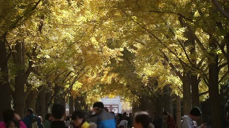 ginkgo leaf : The people roam in the parkway of Temple of Earth, Beijing, China