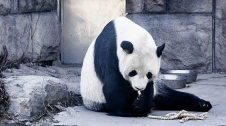 живая природа : Giant Panda eating bamboo shoots Стоковые видеозаписи