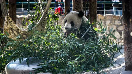 живая природа : Giant Panda eating bamboo shoots in the zoo