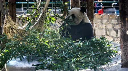 新芽 : Giant Panda eating bamboo shoots in the zoo