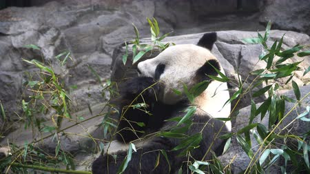 tlapky : Giant Panda eating bamboo shoots in the zoo