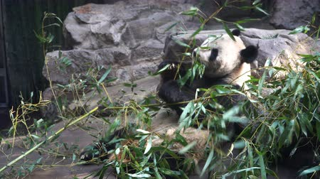 живая природа : close-up of Giant Panda eating bamboo leaves