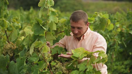 borgonha : Satisfied male vintner with clusters of grape smiling outdoors