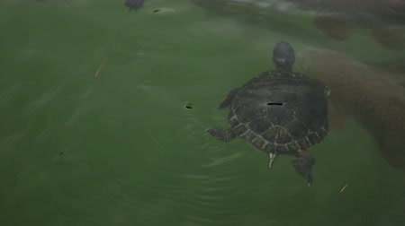 scripta : tortoise and fish in water of pond area Stock Footage