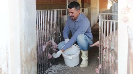 nurture : smiling farmer giving pelleted food to hogs through fence in hangar