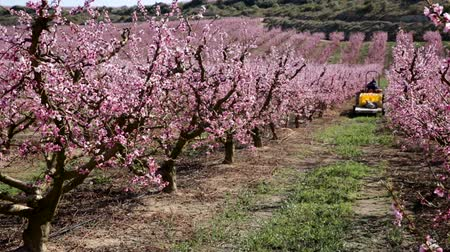 çekicilik : Richly blooming peach trees garden in sunny spring day