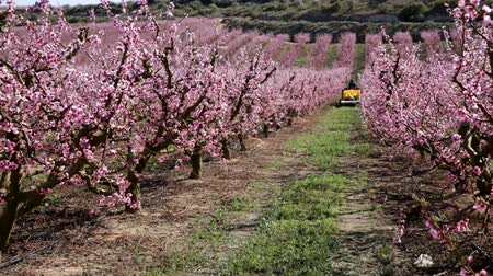 őszibarack : Blooming peach trees garden