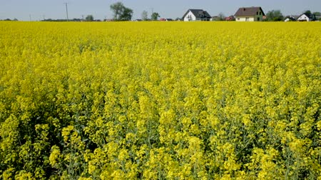 canola seeds : Picture of a rape seed field at sunny day, landscape in Poland