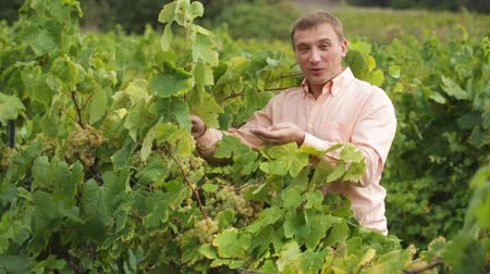 rendes : vintner checking wine grape and leaves