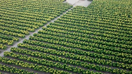 agrarian : View from drone of ripe peach trees in sunny summer day