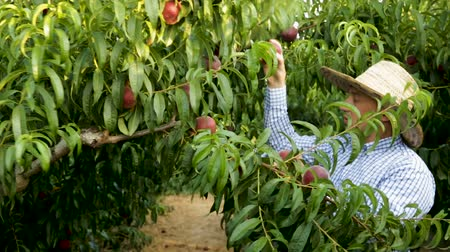 ciddi : Man farmer in hat picking peaches from tree in garden at sunny day