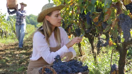 agrarian : Vineyard harvesting