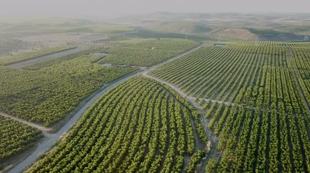 şeftali : View from drone of ripe peach trees in sunny summer day