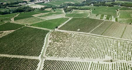 agrarian : Aerial view of the vineyard grape vines at sunny day