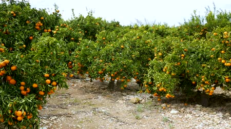çekicilik : Harvest time. Ripe juicy orange mandarins on trees in orchard