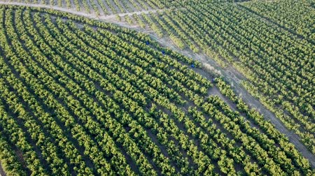 çekicilik : View from drone of ripe peach trees in sunny summer day