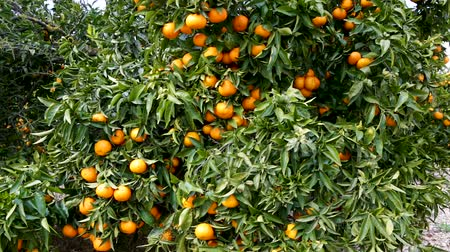 çekicilik : Ripe juicy orange mandarins on trees in orchard Stok Video