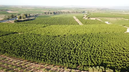 çekicilik : Aerial view of ripe peach trees garden