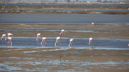 flamingi : Flamingos in wetland of Ebro river Delta. Natural Park in Tarragona, Spain