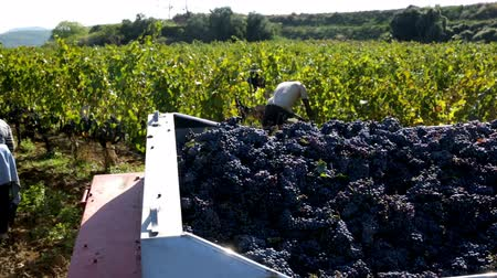 parreira : PENEDES, SPAIN - SEPTEMBER 13, 2018: Harvesting grapes on vineyards in Penedes, Catalonia