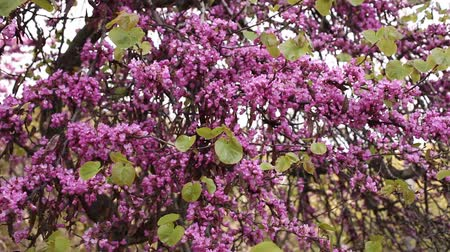 çekicilik : Lush blooming Cercis tree with pinkish-red flowers on leafless branches Stok Video