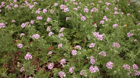 fragrances : Geranium plants in their natural habitat in springtime Stock Footage