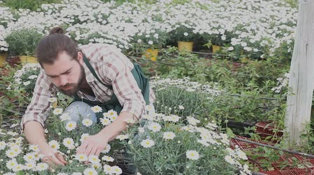 kertészeti : Man horticulturist during gardening with white camomile in pots in hothouse