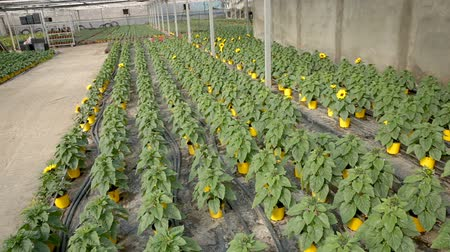 саженцы : Image of seedlings of decorative greenhouse sunflowers