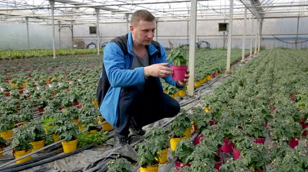 kertészeti : Managing quality of tomato seedlings in his organic glasshouse plantation Stock mozgókép