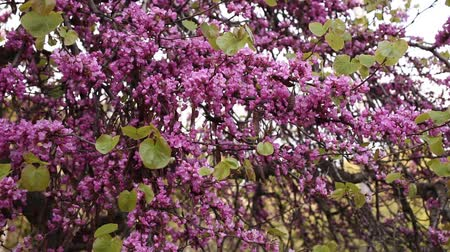 květenství : Cercis siliquastrum or Judas tree purple blossoming on sunny day