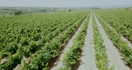 parreira : Aerial view of vineyard plantations in Spain