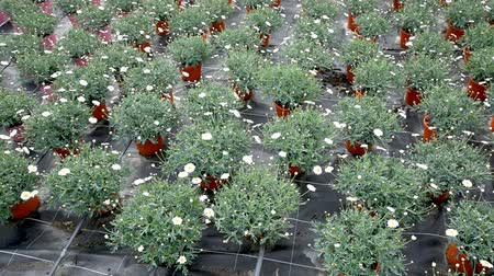 farmers : Rows of african daisies growing in greenhouse farm