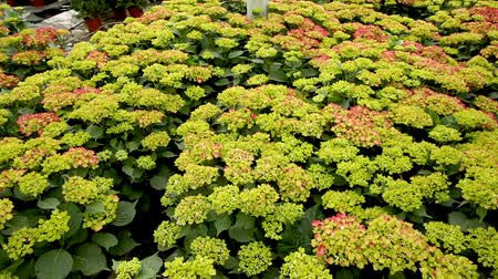 hortensia : Hydrangea. Green plantation of new-blown flowers in greenhouse
