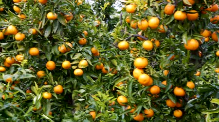 çekicilik : View of ripe mandarin fruit farm Stok Video