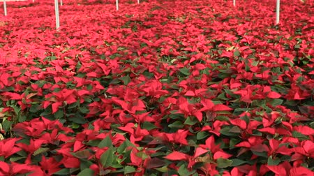 зелень : Poinsettia. Red flowers