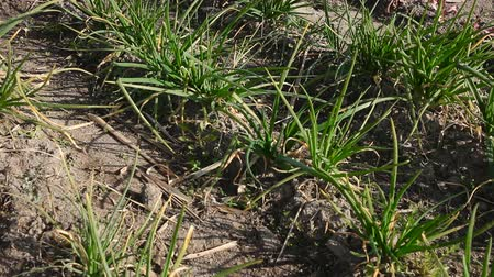 chives : Row of fresh young scoop in spring garden at sunny day