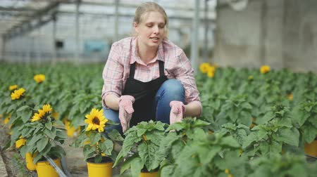kertészeti : Positive woman farmer examining plants for sunflower for growing better Stock mozgókép