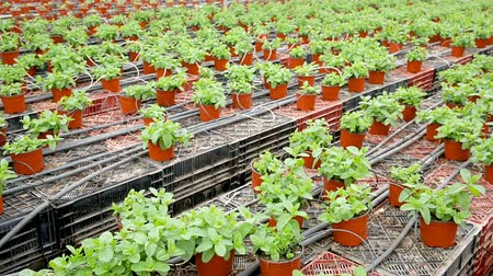 fodormenta : Fresh peppermint trees in organic greenhouse, nobody