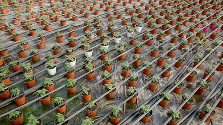 horticulture : Tomato seedlings growing in pots in sunny greenhouse