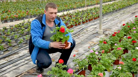 герань : Man horticulturist during gardening