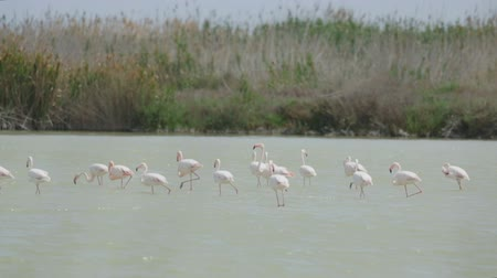 göç : Group of flamingos in lagoon