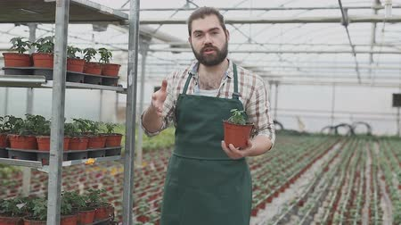 szakképzett : Young male horticulturist planting tomatoes seedling in pots in greenhouse