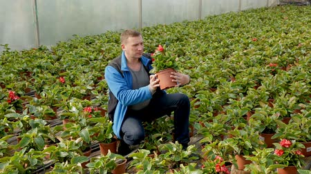 строк : Young man farmer working in hothouse, checking seedlings of Begonia semperflorens