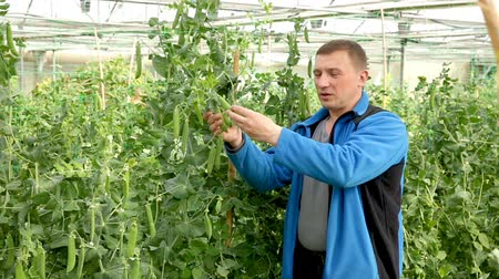 pea pods : Experienced worker checking peas pods while gardening in glasshouse Stock Footage